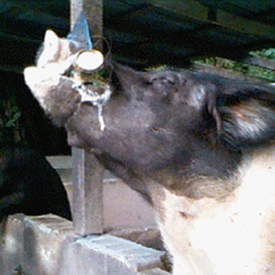 St. Croix's famous beer drinking pigs